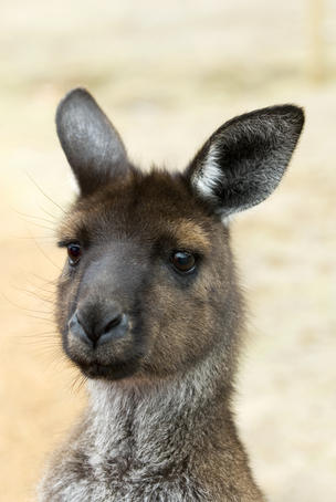 Portrait of a kangaroo.