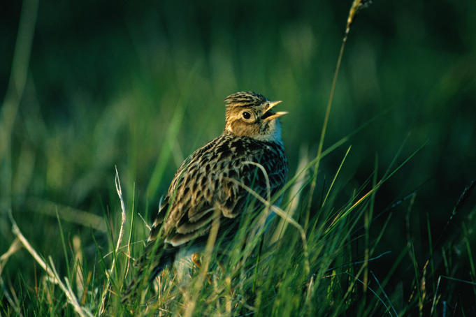 A Skylark ( Alauda arvensis ) singing in a field