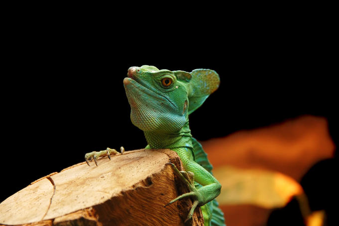 Basilisk (Basiliscus basiliscus) sitting on guard in his environment at Serpentarium.