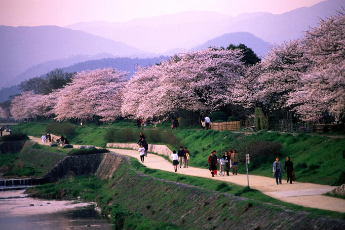People strolling along the banks of the Kamo Gawa river beneath cherry blossoms and a pink Kyoto sky at dusk.