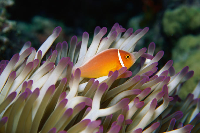 Pink Anemone fish (Amphiprion perideraion). - Great Barrier Reef, Queensland