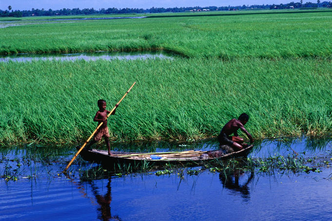 Farmer weeding around crop of dead water rice on the Meghna River, Sonargaon, Dhaka
