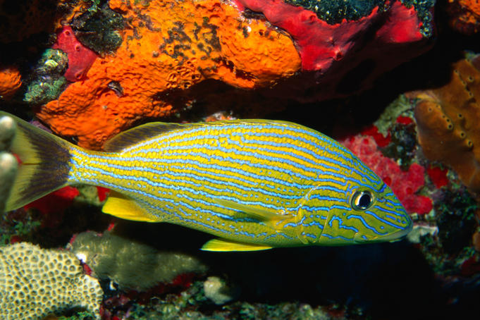 Bluestriped Grunt ( Haemulon sciurus ) in the Caribbean