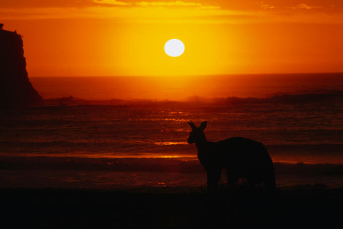 An Eastern grey kangaroo watches the sunrise along Pebbly Beach, Murramarang National Park.
