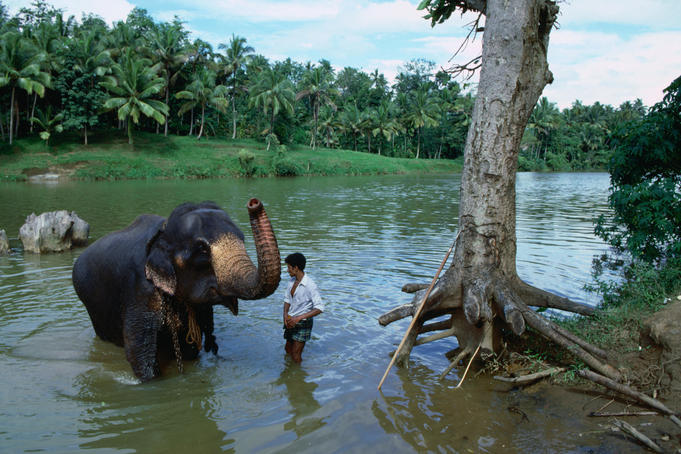 The government run Pinnewala Elephant Orhpanage near Kegalle was set up to save abandoned or orphaned wild elephants, a young orphan gets a bath here from his minder