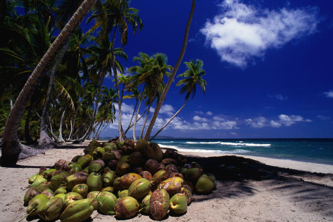 A pile of coconuts on the sand under palm trees on the Caribbean coast near Tela