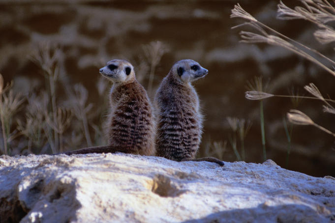 Two Meerkats ( Suricata suricatta ) sitting on a rock at the Melbourne Zoo - Melbourne, Victoria