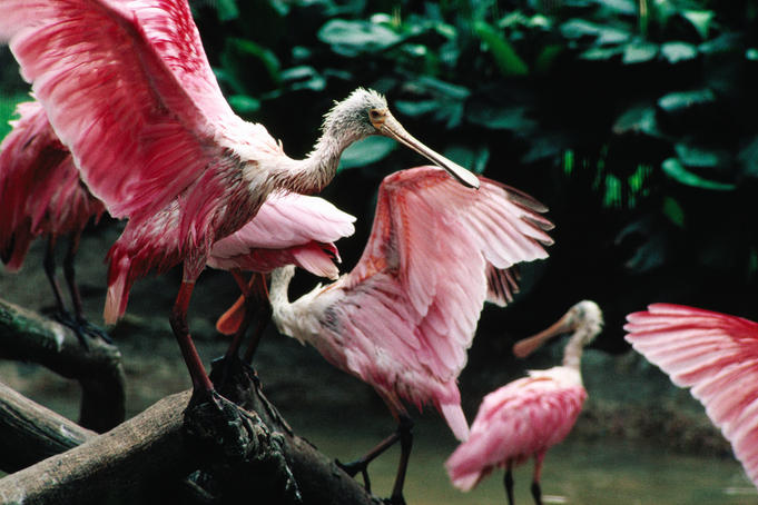 Pink birds at the Jurong Bird Park.