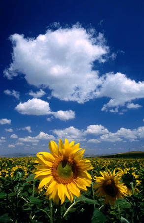Sunflowers in Anatolia.