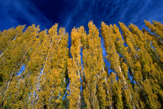 Aspen (Populus tremuloides) forest in the Patagonia region.
