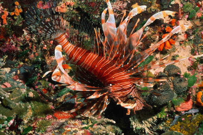 Banded Lionfish (Pterois antennata) on a reef in the waters around Palau