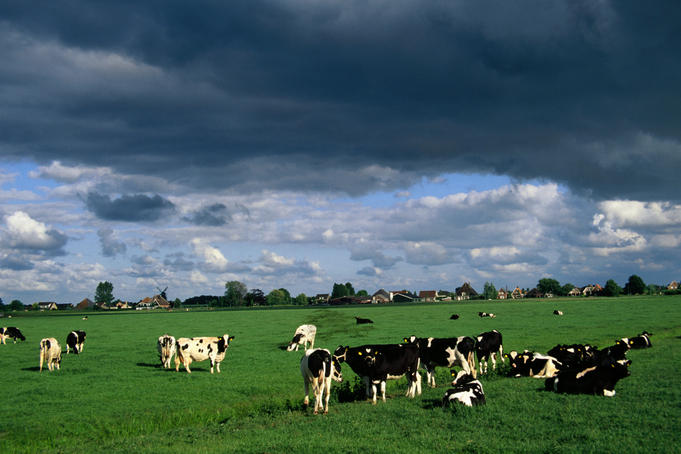 Diary cows under a stormy sky between Amsterdam and Enkhuizen.