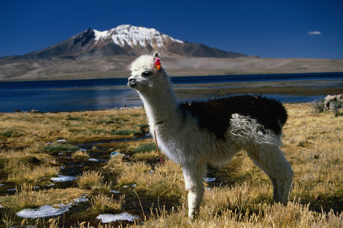 A tagged Llama (Llama glama) on the shores of Lago Chungara.