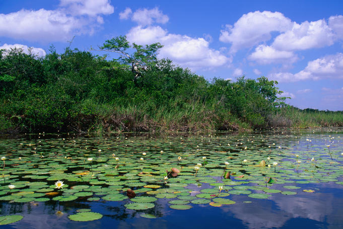 Water lilies on the New River, seen on the river trip from Orange Walk to Lamanai.