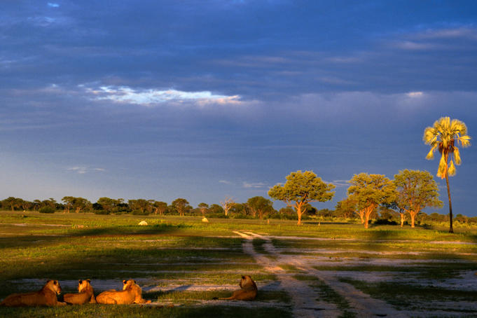 Lions ( Panthera leo ) watch the sun go down in the Hwange National Park
