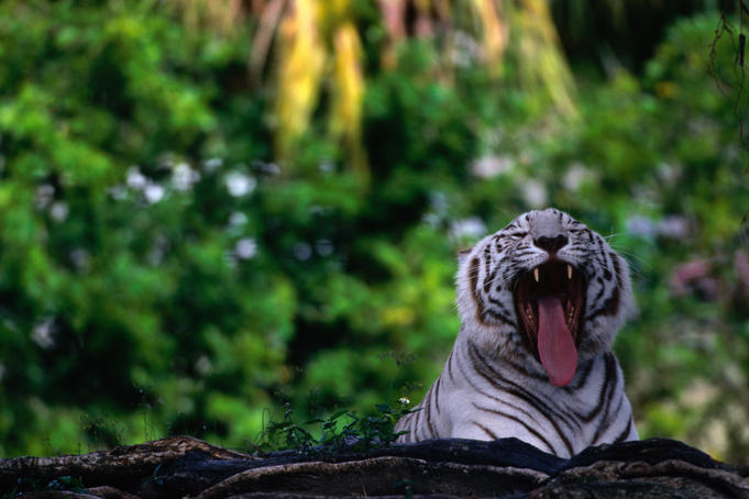 The White (Siberian) Tiger (Panthera leo) in the Miami Metro Zoo.