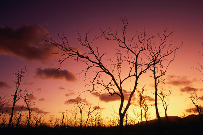 Dead trees against sunset near Airlie Beach.
