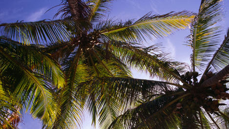 Palm trees, The Guianas