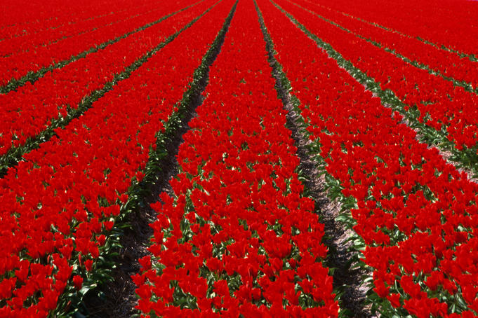 Red Tulip field in Lisse.
