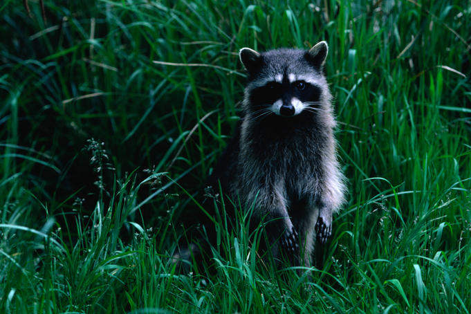 Racoon (Procyon lotor), Cape Alava. The Racoon has a range from North to South America.