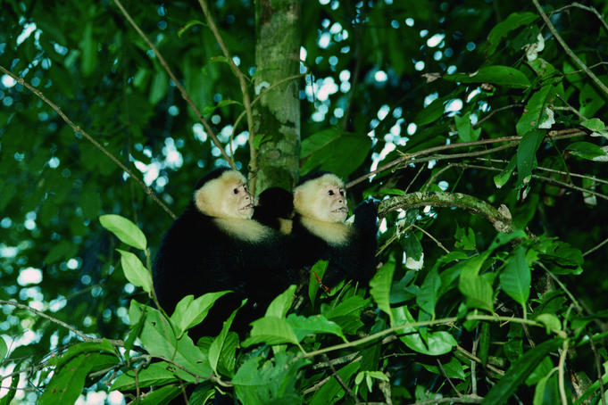 White-faced Capuchin monkeys (Cebuscapucinus) - Manuel Antonio National Park, Central Pacific Coast