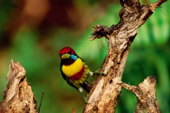 Male Versicoloured Barbet (Eubucco versicolour), Amazon Basin.