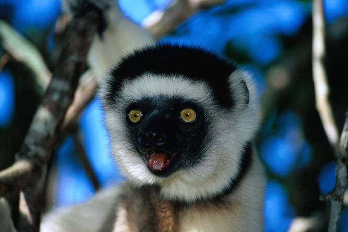 Verreaux's Sifaka (Propithecus verreauxi verreauxi) in Nahampoana Reserve.