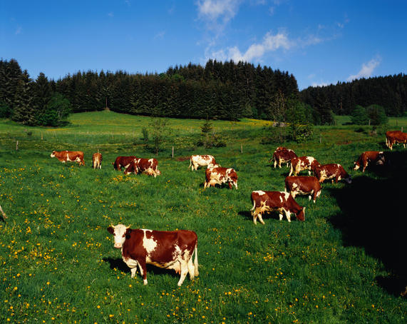 Cows grazing in a field in the Black Forest region.