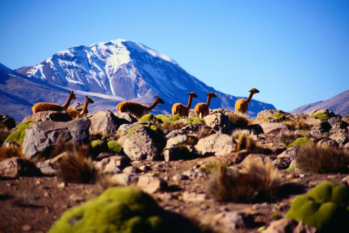 Vicuna ( Vicugna vicugna ) with Volcano Sajama in the background - Lauca Parque Nacional, Tarapaca