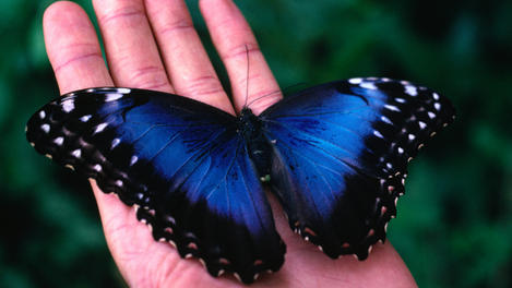 Blue Morpho Butterfly, Costa Rica