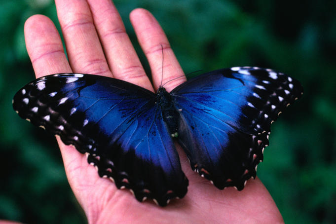 The iridescent Blue Morpho Butterfly (Morpho menelaus) from Monteverde.