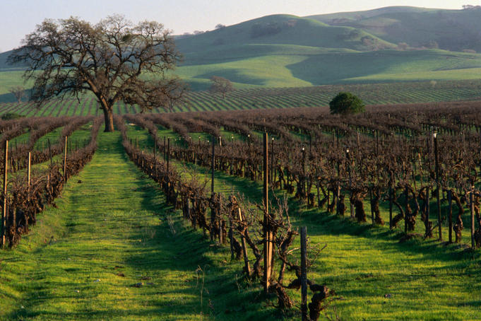 Late winter vineyard, Livermore Valley.